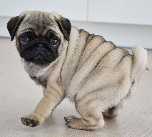 Pug Quote How To Be Happy Find A Pug Hug A Pug There Is No