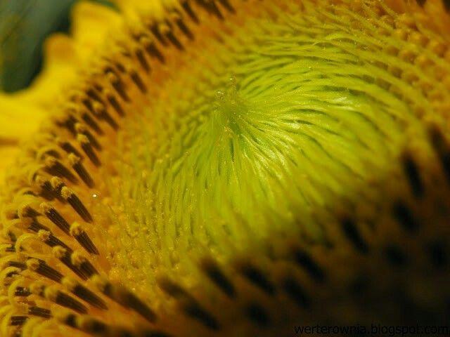 #Werterownia #photography #słonecznik #kwiaty #flowers #macro