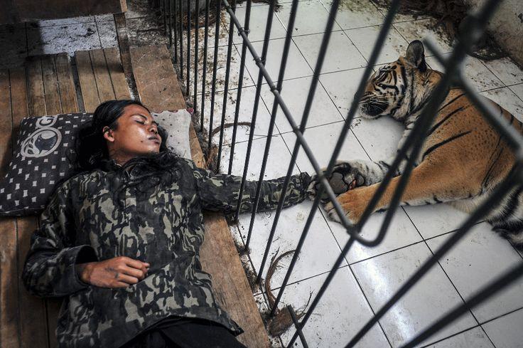 Anadolu Ajansı Gözüyle 2015: Endonezya-nın Malang kentinde yaşayan 33 yaşındaki Abdullah Sholeh, evinin bahçesinde 8 yaşındaki Mulan Jamilah isimli bir Bengal kaplanı besliyor. (Arşiv) (Jefri Tarigan - Anadolu Ajansı)