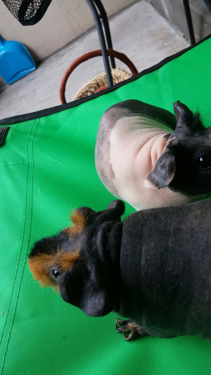 My 2 skinny pigs