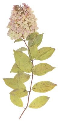 Any plant that doesn�t normally grow in tree form, such as the hydrangea, that is trained to grow as a tree is known as a �standard.� Hydrangeas are woody flowering shrubs, so to grow them as trees requires choosing the appropriate species, pruning it to tree form and, because it�s a vigorous grower, lots of maintenance throughout its lifetime to keep it growing as a tree.