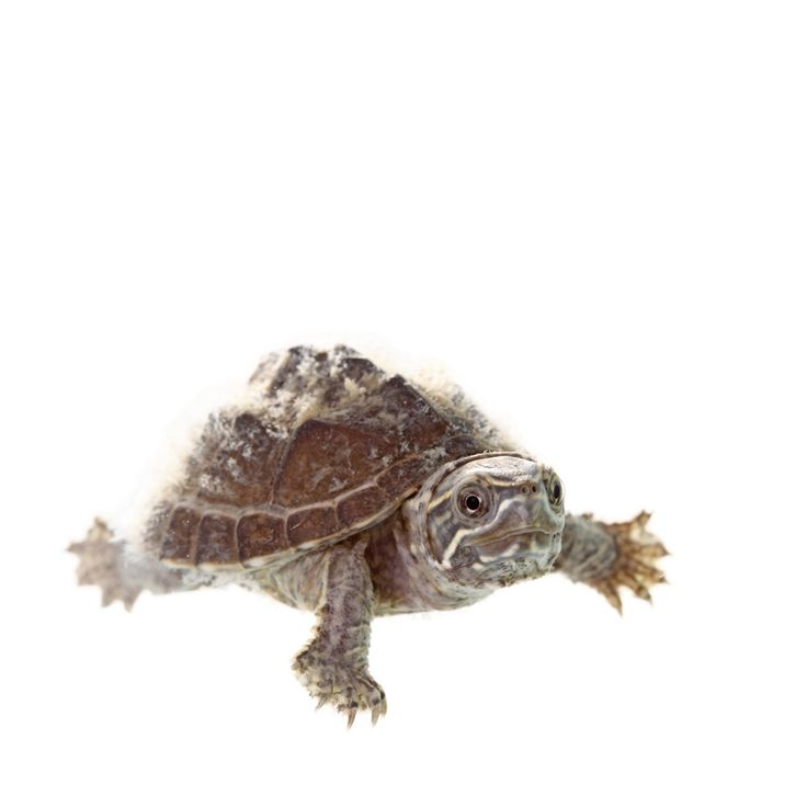 My Turtle Store | Baby Eastern Musk Turtles for sale (Possibly too small for a pet? Only grows to 3 - 5in)