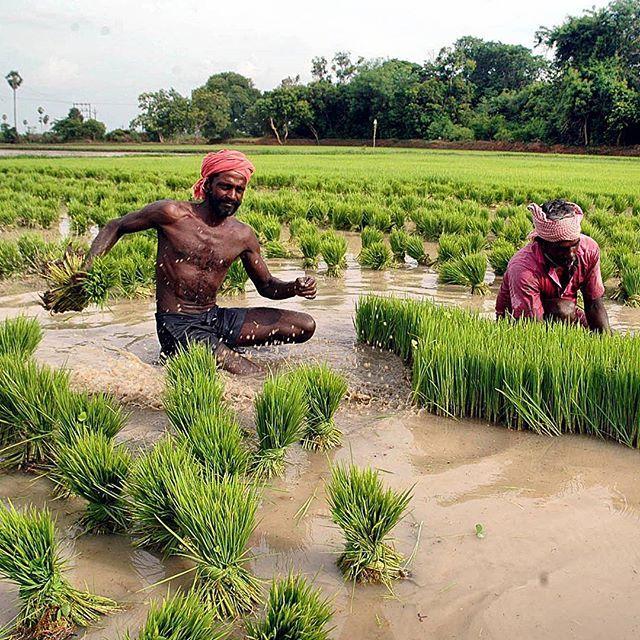 Farmers transplanting samba paddy crop in Thanjavur,Tamil