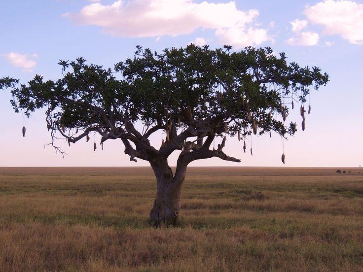 Drzewo kiełbasiane