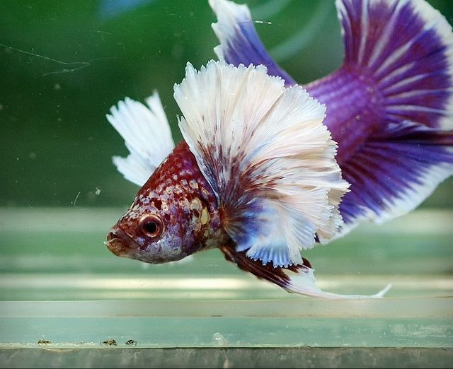 Big ear salamander halfmoon plakat fancy bettas for Big betta fish