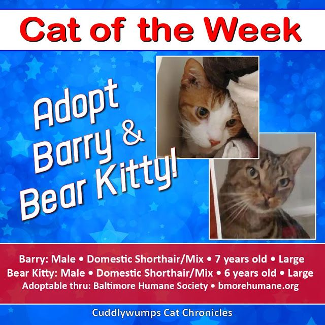 Cats Of The Week Barry And Bear Kitty Cats Kitty Largest Bear