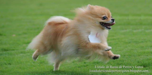 Listado de Razas de Perros y Gatos. Todos los tipos...: Raza de Perro Pomerania Toy o Pomerano (Pomeranian...