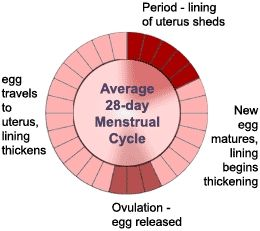 The  Best Menstrual Cycle Calculator Ideas On