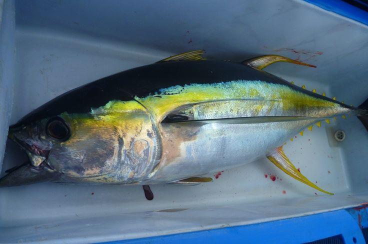 Cronulla Tuna Fishing Charter trip Booked !!!! - http://www.m5industrial.com.au/cronulla-tuna-fishing-charter-trip-booked/