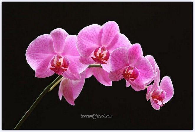 Orkide Çiçeği | Orkide Çiçeğinin Bakımı | Nasıl Büyütülür?| Genel Kuralları - Sayfa 10 - Forum Gerçek