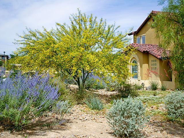 Desert Museum Palo Verde & Russian Sage blooming