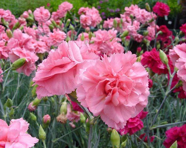 Cravo (Dianthus caryophyllus) -Na época da inquisição as bruxas carregavam o cravo consigo para prevenir-se da captura ou enforcamento. Gera energia no ritual quando usado como incenso