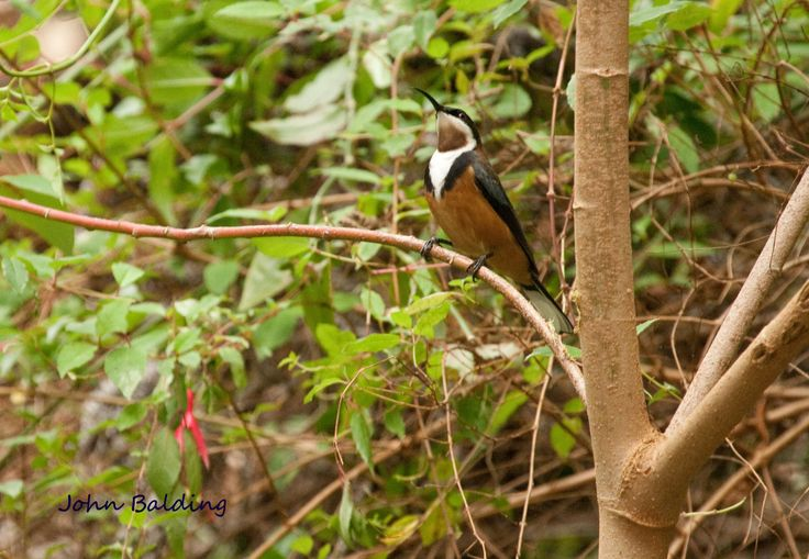 Adult male Eastern Spinebill, one of several in our garden