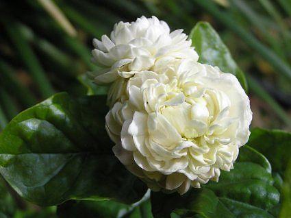 Such a beautiful flower - gardenia.
