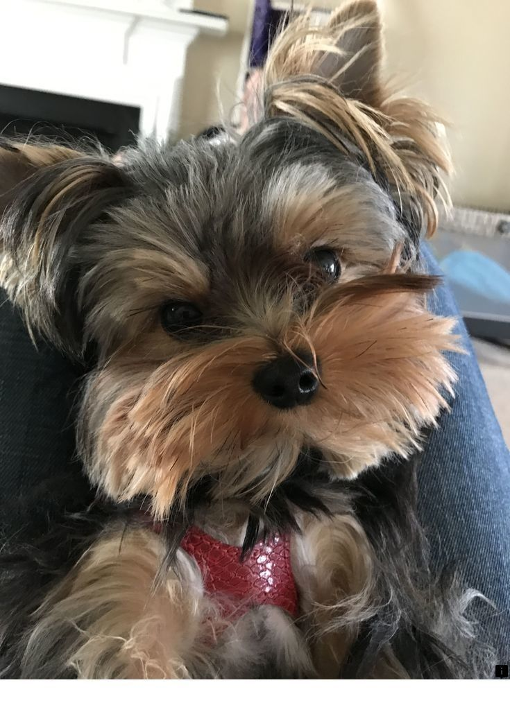 Check Out The Link To Read More About Pictures Of Puppies Simply Click Here To Find Out More Enjoy In 2020 Yorkshire Terrier Yorkshire Terrier Puppies Yorkie