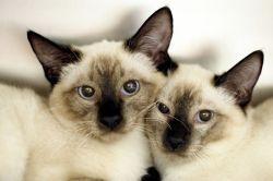 Сиамские кошки: характер. Сиамская кошка: описание породы, разновидности