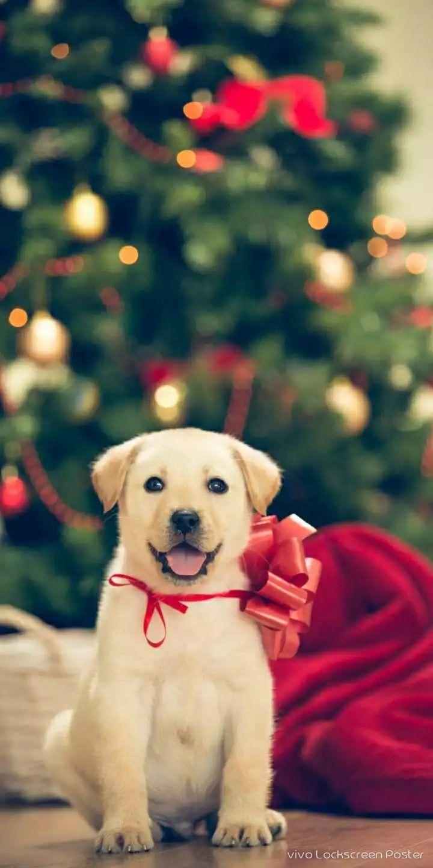 Pin By R Kumar On Animals Hd Wallpaper Christmas Animals Animals Labrador Retriever