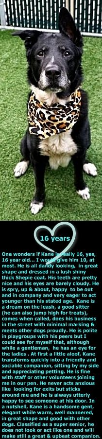SUPER URGENT Manhattan Center KANE – 15040  Sex: Male Age: 16 years old Length: Medium Is Vaccinated: Yes Coat Type: Thick Primary Color: Black Secondary Color: White Weight: 51.5 lbs. http://nycdogs.urgentpodr.org/kane-15040/