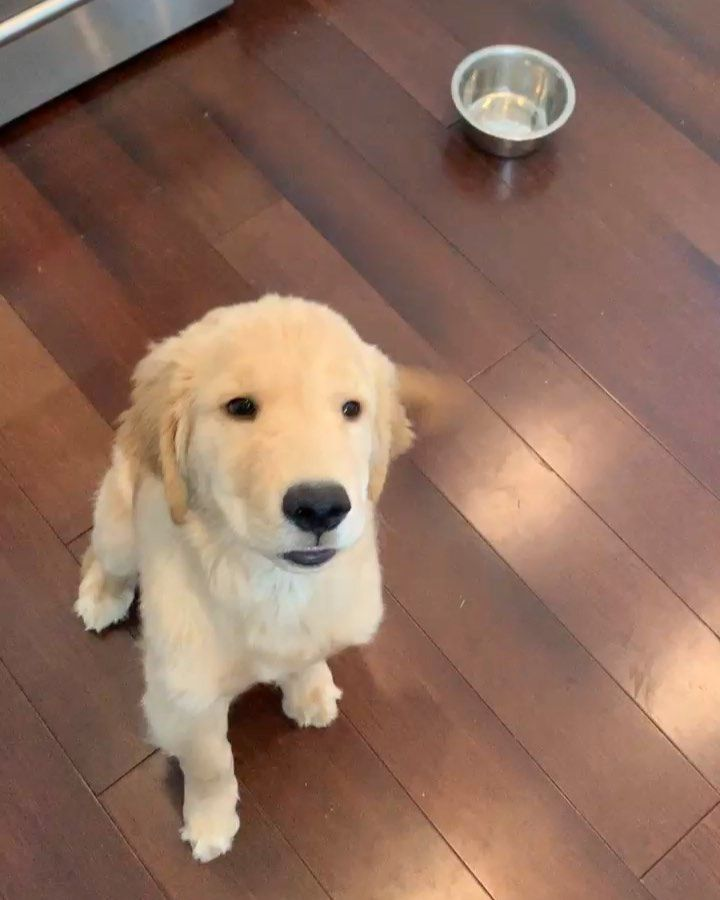 What S Sure To Make Your Day Brighter Videos Of Golden Retriever