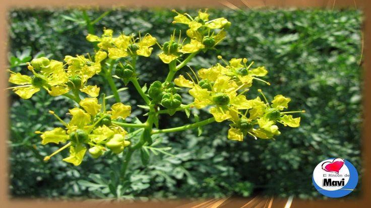 Para que sirve la ruda - Propiedades y beneficios de la ruda planta medi...