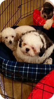 Dayton Oh Poodle Miniature Meet Temperance A Dog For Adoption Http Www Adoptapet Com Pet 14942586 Dayton O Dog Adoption Miniature Poodle Pet Adoption