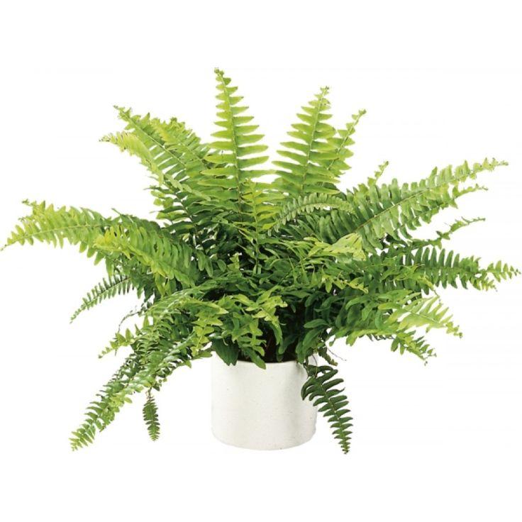 Spjutbräken - Lättskött, frodig växt med kompakt växtsätt. Bra luftrenare och luftfuktare. Kan med fördel placeras en bit in i rummet. Vattnas när jorden fortfarande är lätt fuktig.