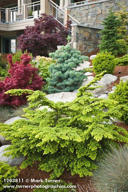 1203811 Dwarf Hemlock, Fir, Japanese Maples w/ home bkgnd [Tsuga cv.; Abies cv.; Acer palmatum cvs.]. Jim Swift, Bellingham, WA.