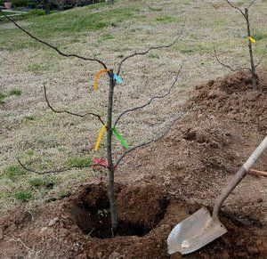 How to plant a backyard orchard