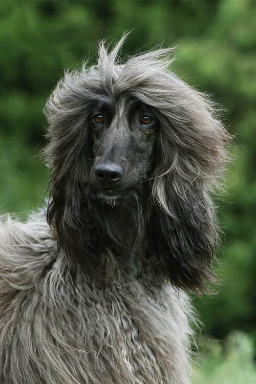 Afghan Hound Dog Breed Information | Animals | Hound dog