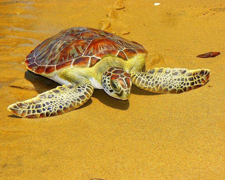 """Para muchas personas cuando escuchan hablar de tortugas marinas piensan en el relajado personaje de la película """" Buscando a Nemo"""". Sí sabemos que esta no es la referencia más técnica que podemos darte pero aunque no lo creas es lo que más nos dicen cuando hablamos de estos animales así que es válida.  Bueno """"Crush"""" es una tortuga verde así como esta de la foto. Y también está presente en nuestro país. De hecho tal vez sea la más fácil de ver en el mar.  Esta especie se alimenta…"""