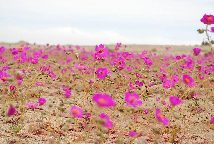 Chile Atacama Fenomén jménem desierto florido – rozkvetlá poušt. Listopad 2015 Poušť Atacama, která je jinak známa jako jedno z nejsušších míst na světě, rozkvetla letos v míře, která nebyla k vidění od roku 1997. Stalo se tak v důsledku mimořádně silných sezónních dešťů.