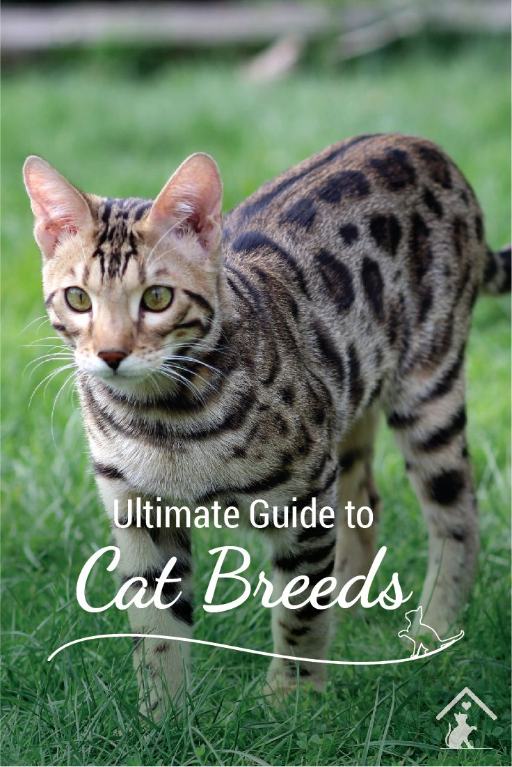 Curious about cat breeds? The Bengal is just one of our top 20 cat breeds. Click the pin to see more! #catbreed #bengalkittens #bengalcats