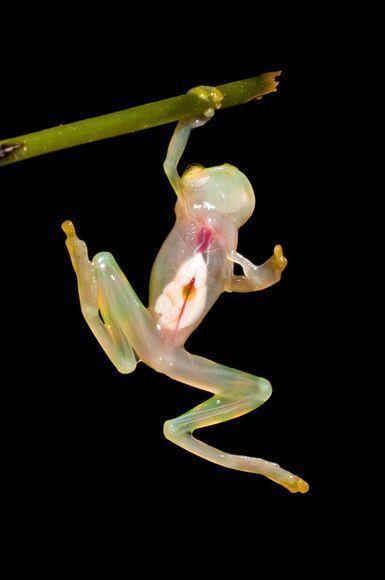 hanging transparent frog