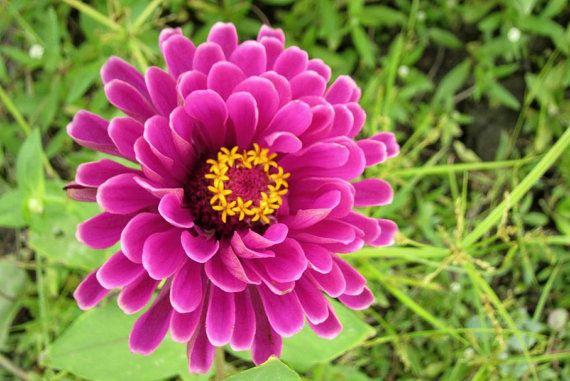 Heirloom 200 Seeds Zinnia elegans Rocky Mountain Plains Wild Purple Red Flower Bulk Seeds BH144, $1.79