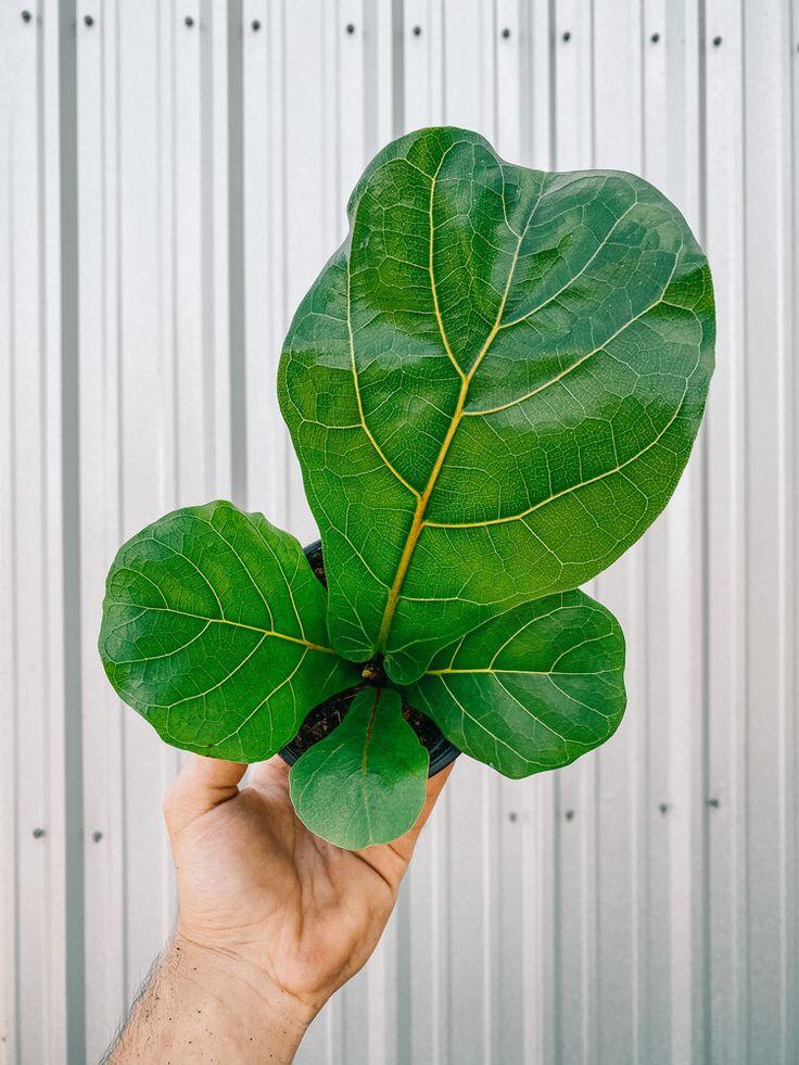 "4"" Ficus Lyrata 'Fiddle Leaf Fig' in 2020 Plants, Ficus"