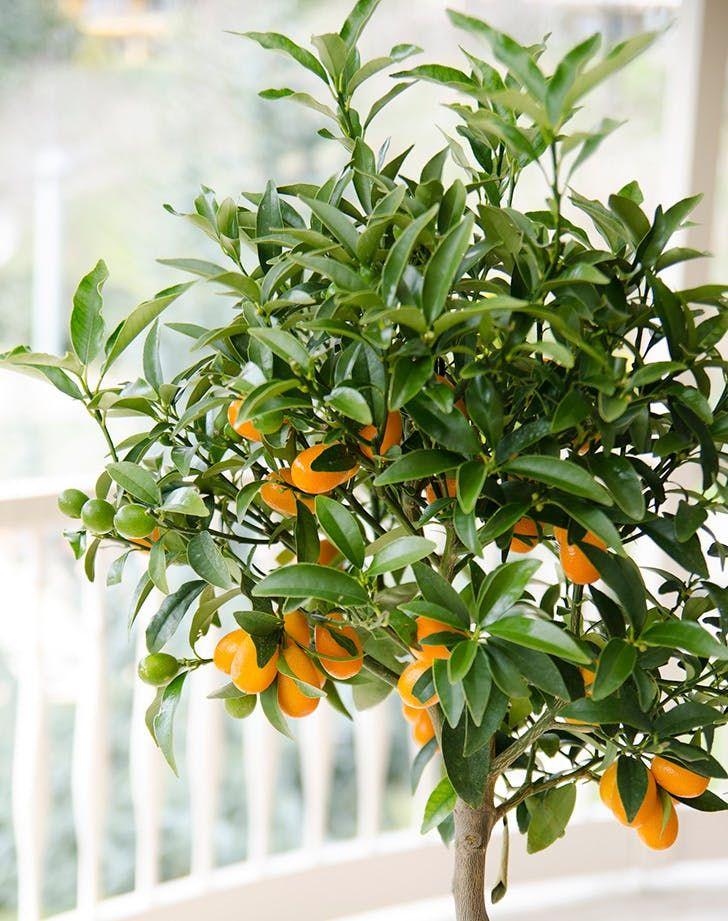 How To Grow An Indoor Citrus Tree Purewow Citrus Trees Indoor Lemon Tree Dwarf Fruit Trees