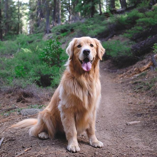 All The Things We All Admire About The Devoted Golden Retriever