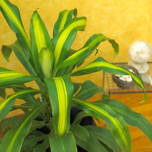 unbelievable house plant with green and pink leaves. HOUSE PLANT  DRACAENA Displays long leaves variegated with white cream or red 25 best House Plants images on Pinterest plants Beautiful