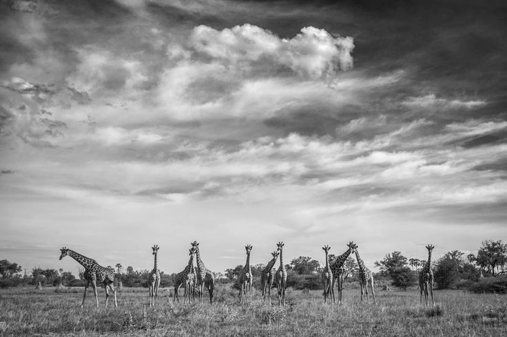 Giraffe herd in a black and white wildlife print. BW wildlife image by wildl;ife photographer Dave Hamman