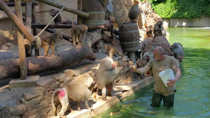 Pavian Fütterung, Baboon feeding Zoo Cologne, this feeding is enrichment and show too.