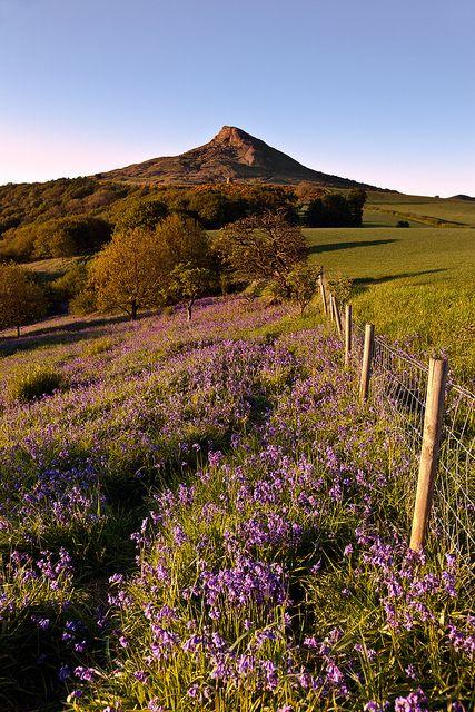 Roseberry Topping, Bluebells. Yorkshire