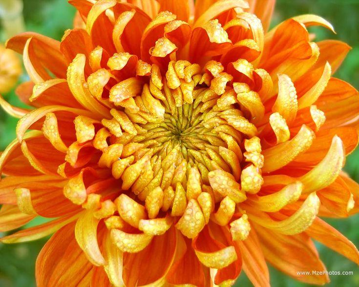 november birth flower chrysthenthemum asher and