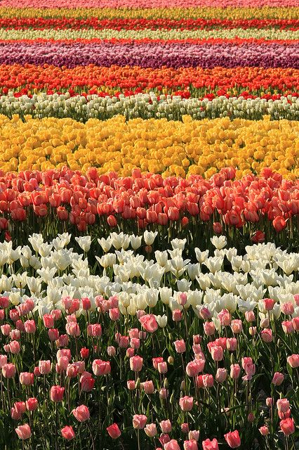 This is NOT a Dutch field....! >> Skagit Valley Tulip Festival, Mount Vernon, Washington