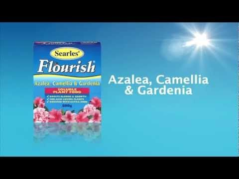 ive 'Power to the Flower' in your garden with Searles Garden Products, including great tips on keeping your Azalea, Camellia & Gardenia plants looking healthy and flushed with blooms. For more information on products and tips on growing beautiful flowers in your garden visit #www.searles.com.au.  #plant #food #garden #flourish #soluble #products #fertiliser #native #azalea #camellia #australia