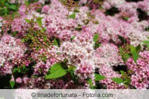 Spiraea japonica 'Genpei' / Japanischer Spierstrauch 'Genpei'  80cm