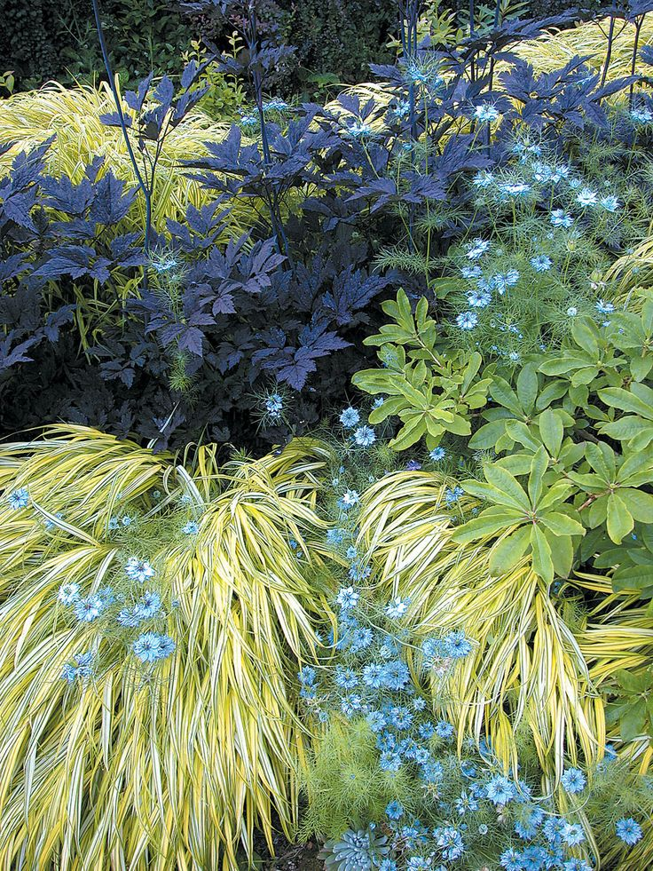 purple cimicifuga, golden hakonechloa, lt blue nigella with broad green-leaved plant... strong contrasts