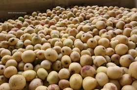 Every year between January - March, the marula fruit gets its distinctive flavour and yellow colour as it ripens under the African sun.The fruit is used for juices, wine and jams.  It contains 4 times as much Vitamin C as an orange.