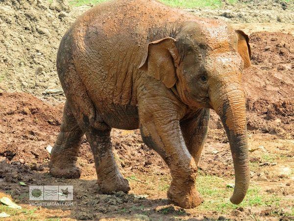 Tailanda: la elefanți
