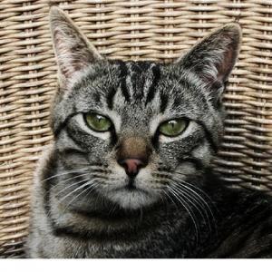 Mau Egipcio,Egyptian Mau  cores -prata, bronze, esfumaçado, preto e azul.  olhos - verdes  Historia -  mau em egípcio significa gato  eram adorados como deuses no Egito  vieram para as Américas no ano de 1956 através de uma princesa que foi exilada.