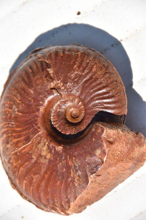 Ammonite - Pseudammatoceras boyeri - 115 cm gewicht 525 g - 2 kanten bereid  Prachtig ammonieten uit Belmont Frankrijk. Beide zijden zijn opgesteld gewiste hart. Zeldzaam stuk 100% natuurlijk zonder eventuele restauratie. Heel moeilijk werk te vinden Let op de aanwezigheid van de navel.Diameter: 115 cmVerzending door colissimo.  EUR 1.00  Meer informatie